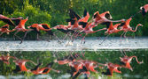 Photo Flying Caribbean flamingos