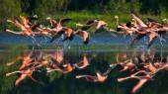 Fotografie Flying Caribbean flamingos