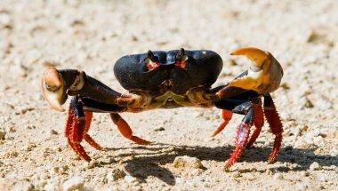 Red land crab close up