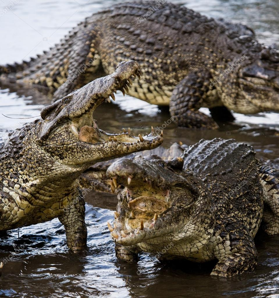 Cuban Crocodiles (crocodylus rhombifer)