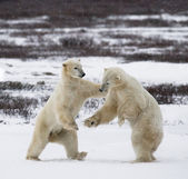 Fotografie Polar bears fighting