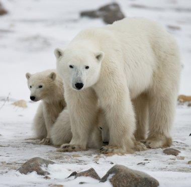 Three polar bears