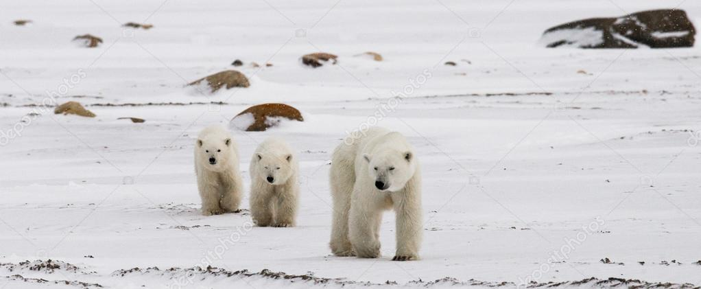 Mother polar bear with two kids bears