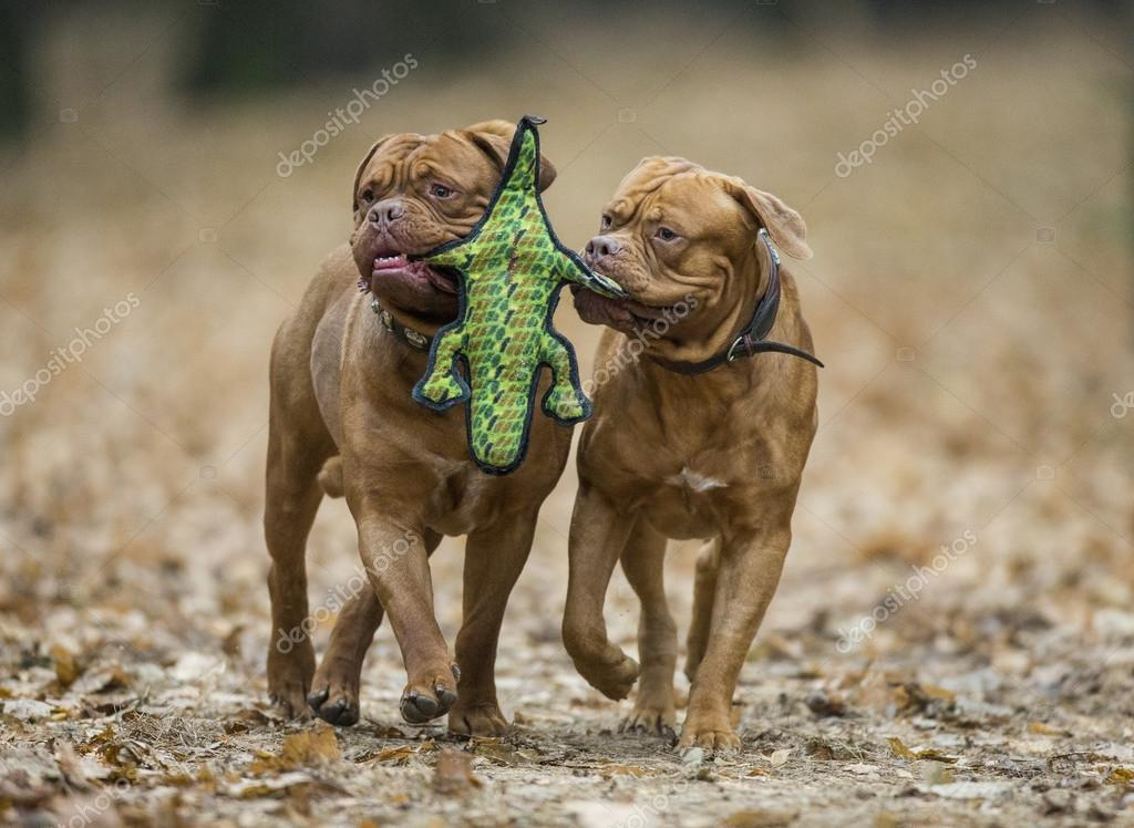 Dogue de Bordeaux in autumn forest