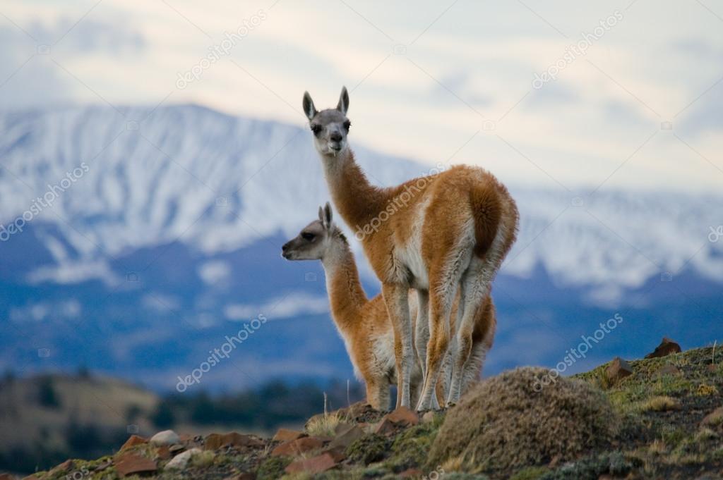 Wild lamas - guanaco,