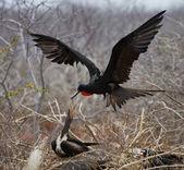 Fotografia Uccello di fregata su un nido