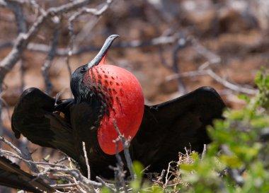 Frigate bird on a nest