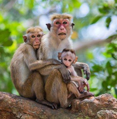 Family of Toque macaque