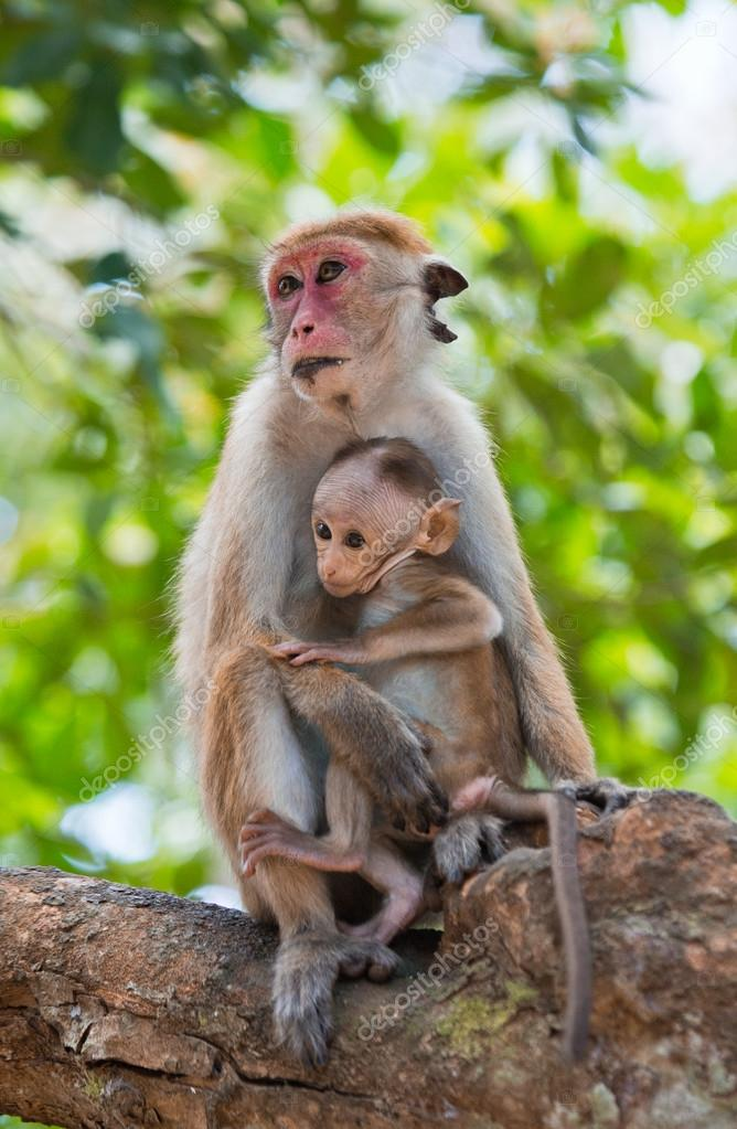 Pair of Toque macaques