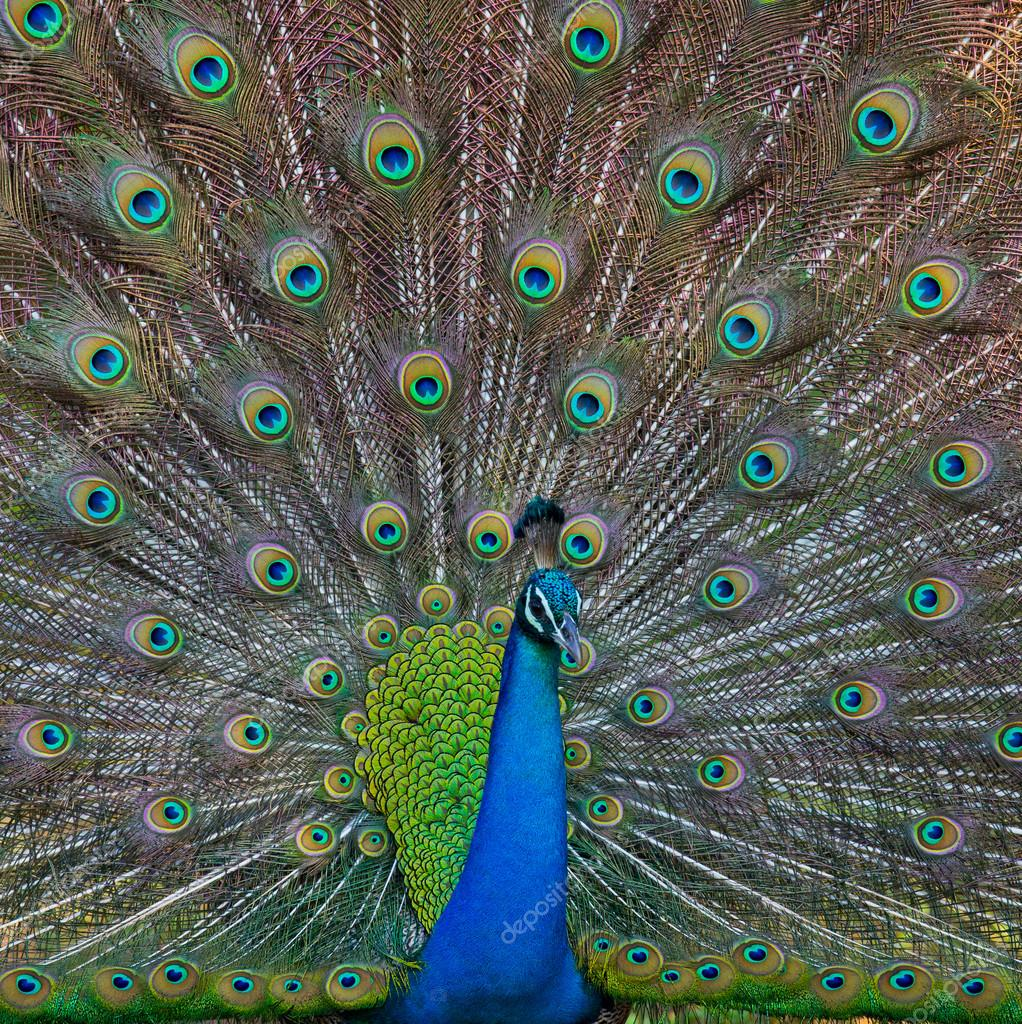 Peacock in the wild on the island