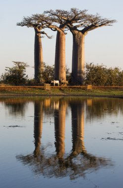 Beautiful Baobab trees