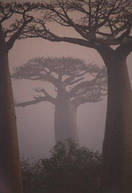 Beautiful Baobab trees