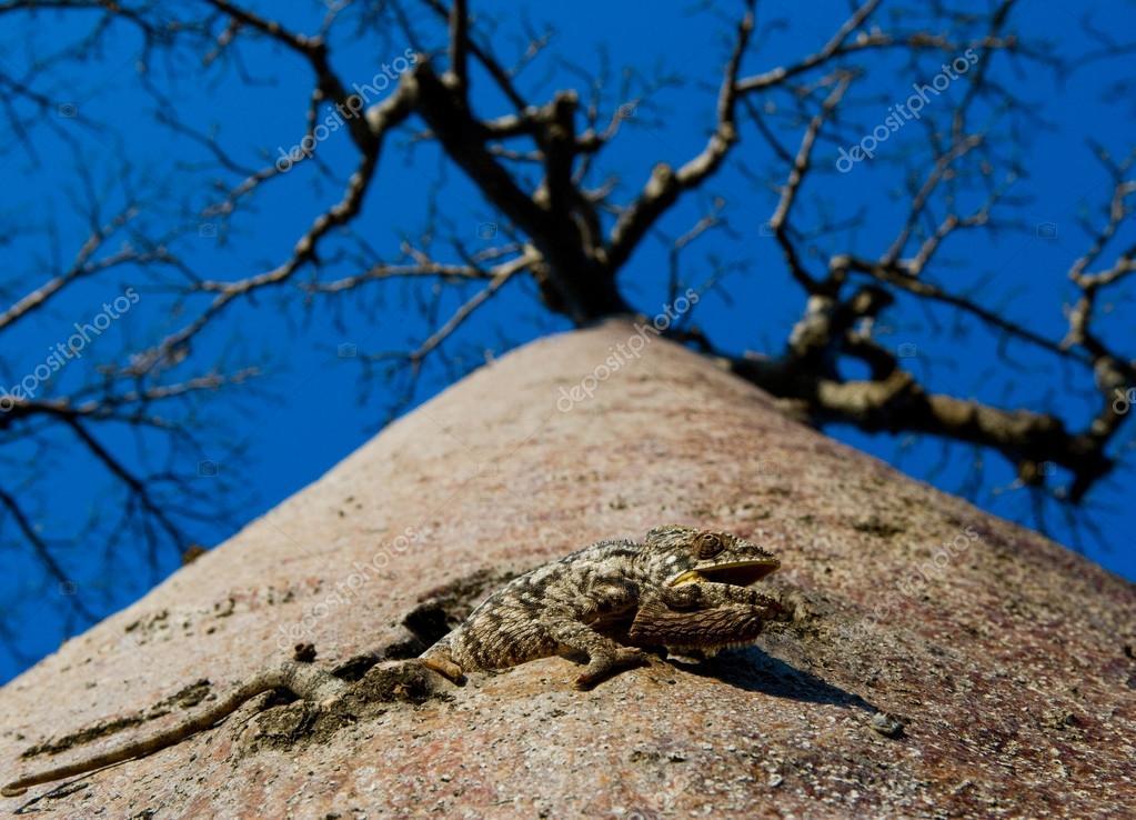 Chameleon sitting on a baobab