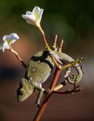 Photo chameleon lizard close up