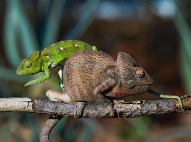 chameleons close up sitting