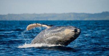 Jump humpback whale