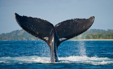 Whale jumping in the air