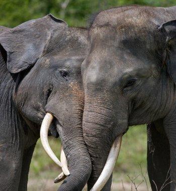 Two Elephants with large teeth