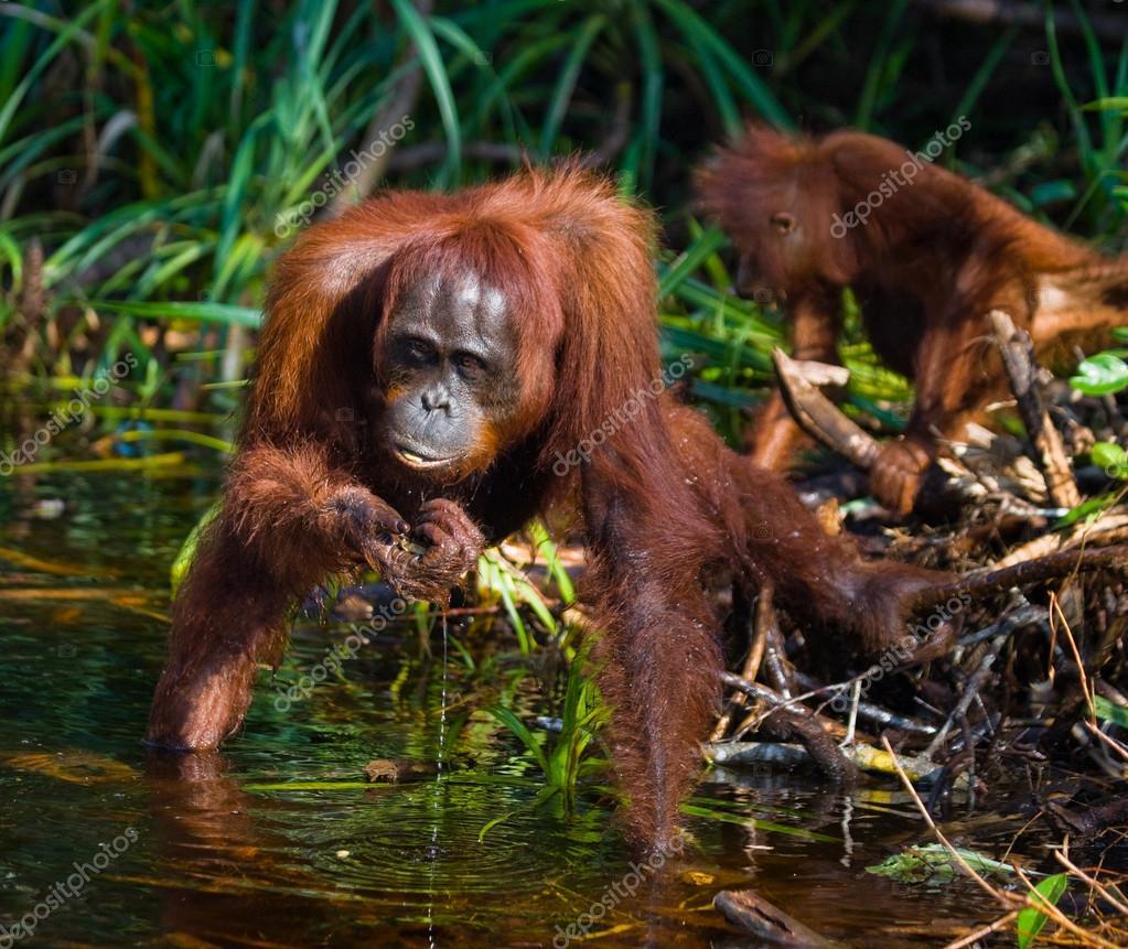 Orangutan mother and baby