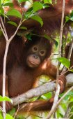 Fotografie Dětská Orangutan, Indonésie