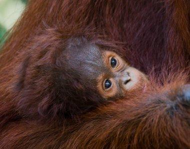 Baby Orangutan, Indonesia.