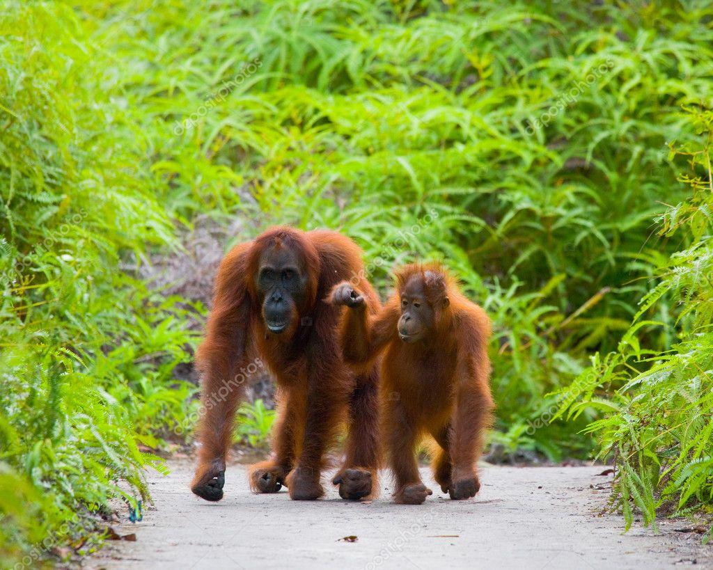 Two Orangutans  Indonesia.