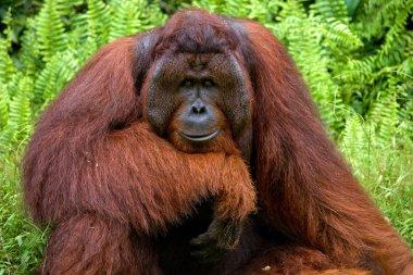 male orangutan portrait