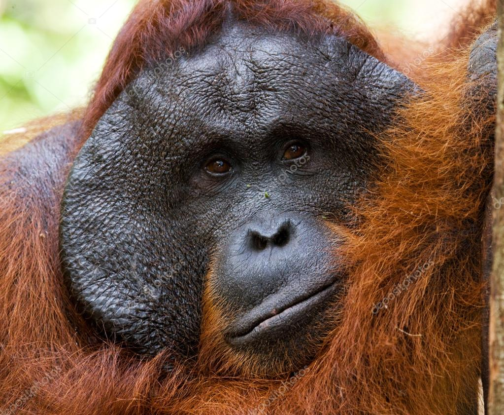male orangutan portrait