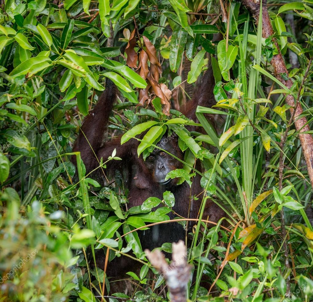 One Orangutan  Indonesia.