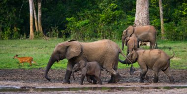 Forest elephant family