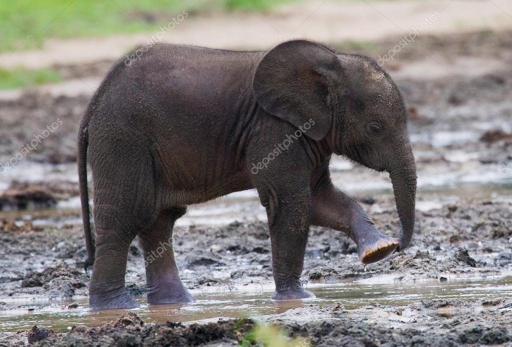 Forest baby elephant