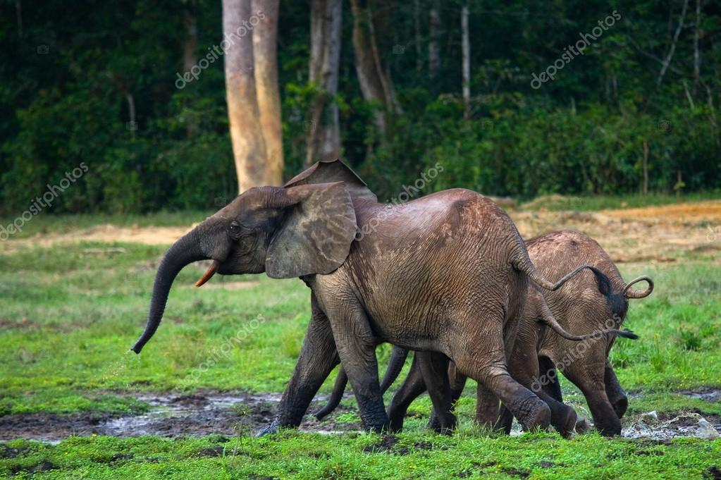 Forest elephant family