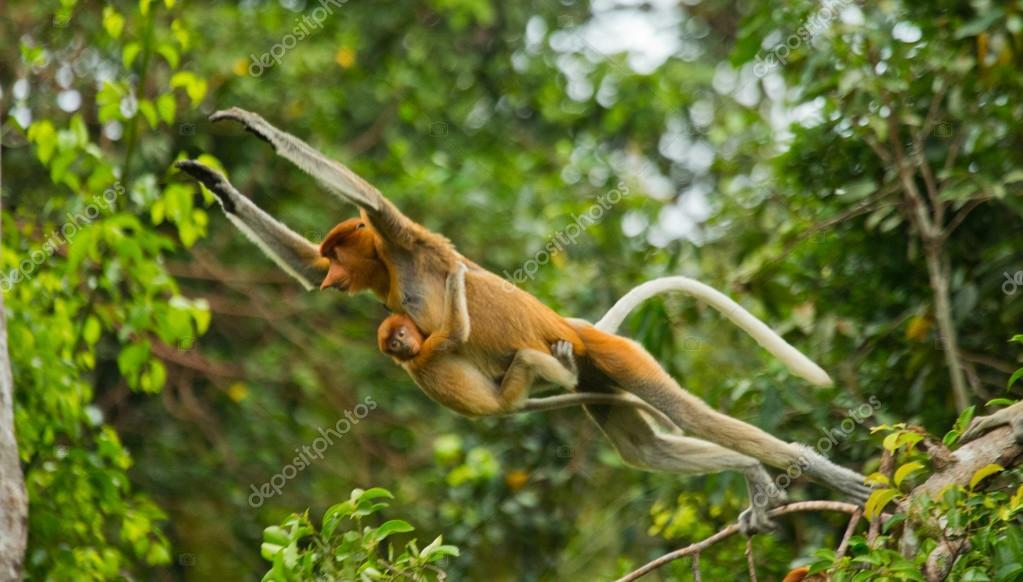 Proboscis Monkeys (Nasalis larvatus)
