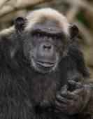 Legrační šimpanz, Konžská republika