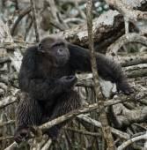 Fotografie Legrační šimpanz, Konžská republika