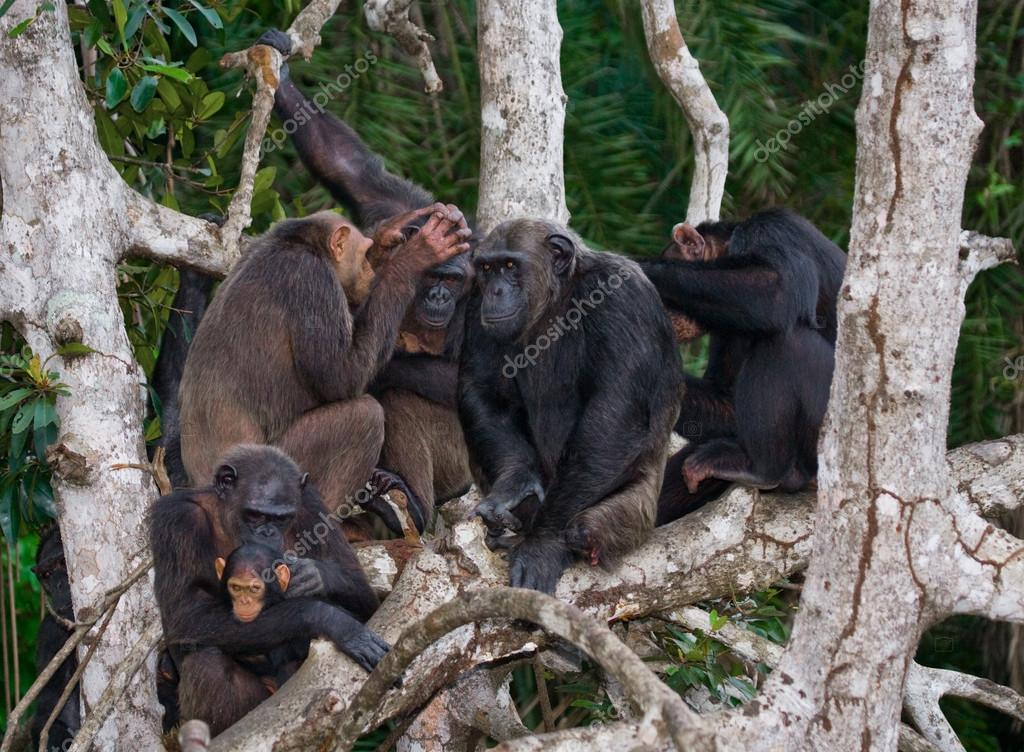 Funny Chimpanzee family, Republic of the Congo