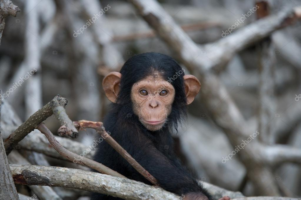 Chimpanzee baby monkey