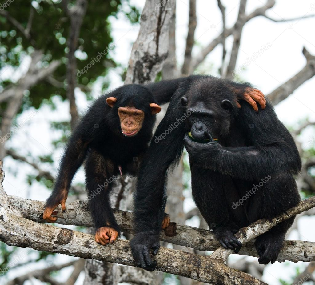 Funny Chimpanzee, Republic of the Congo