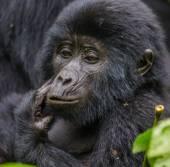 Photo One Congo Gorilla