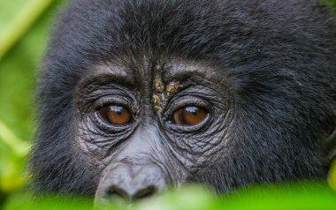 Baby Congo Gorilla