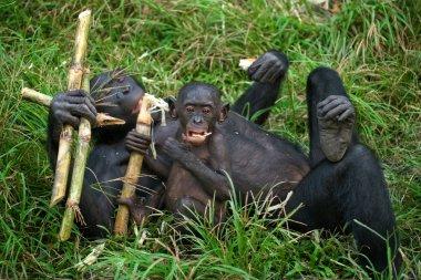 Bonobos monkey family