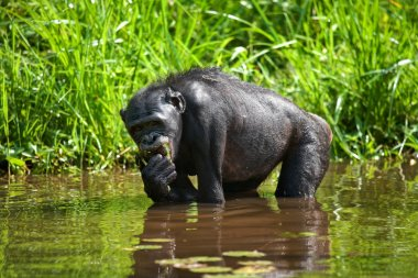 Bonobo monkey sitting in water