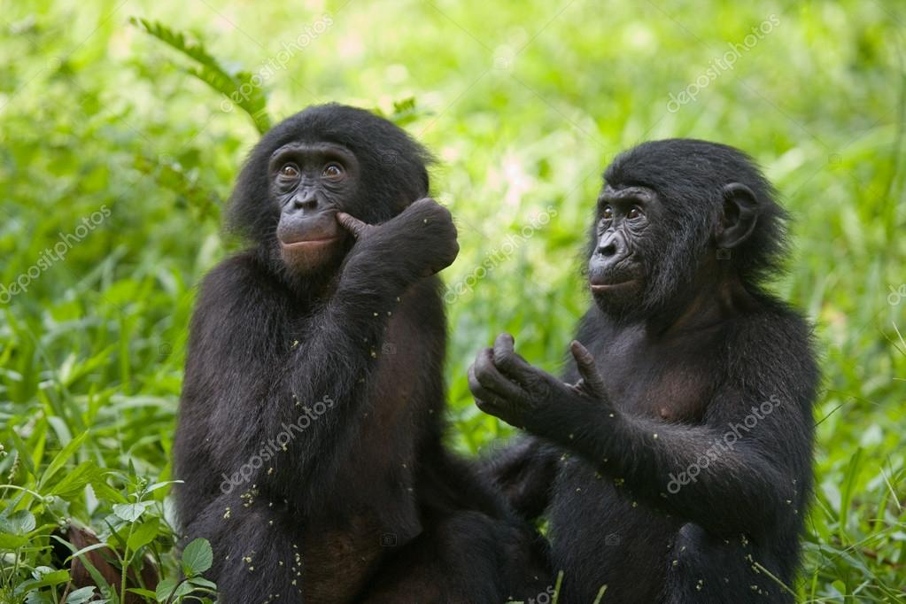 baby bonobo affen stockfoto gudkovandrey 94267022. Black Bedroom Furniture Sets. Home Design Ideas