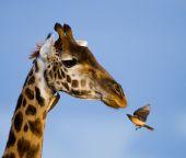 Ritratto di una giraffa curiosa
