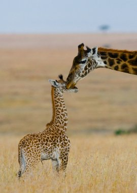 mother giraffe with her baby