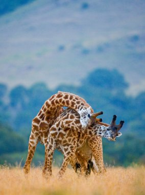 Couple of giraffes in its habitat