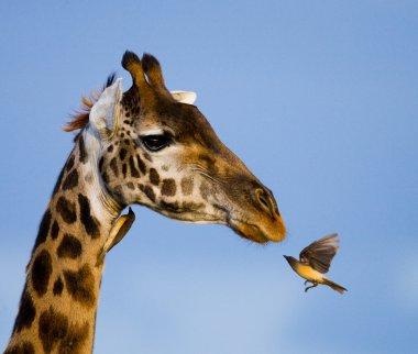 Portrait of a curious giraffe