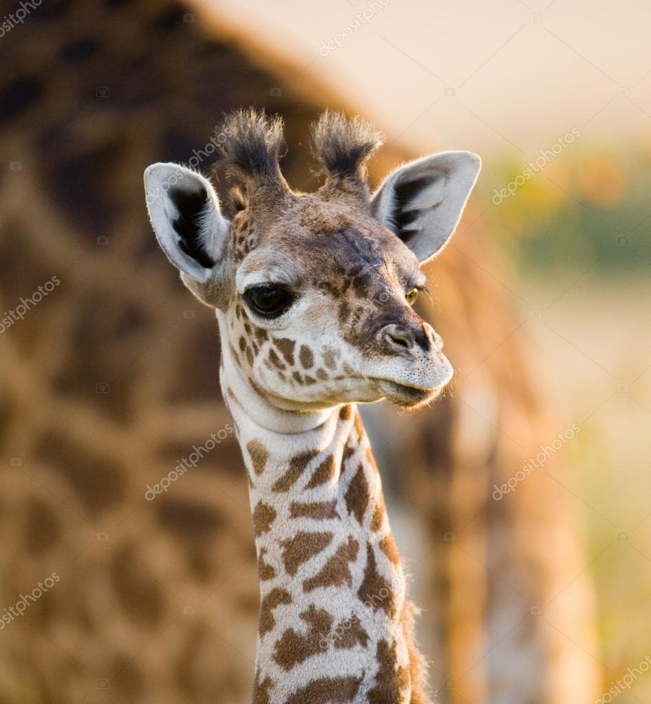 Girafa bebê fofo — stock photo gudkovandrey