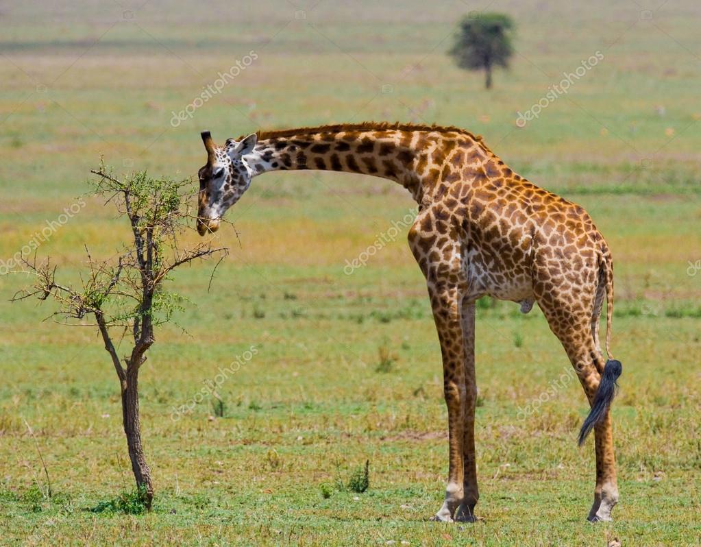 One giraffe (Giraffa camelopardalis)
