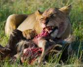 Photo Lioness eating meat